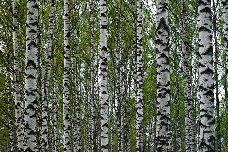 Birch wood pattern · phogulum